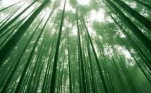 bosques-bambu